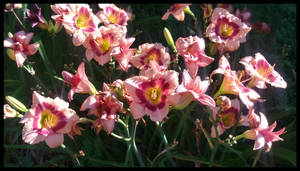 Morning Light Pink Lillies