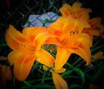 Good Morning DA. Orange Sunshine