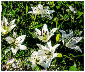 Lilly White Lillies