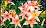 Beautiful Lilly Fields