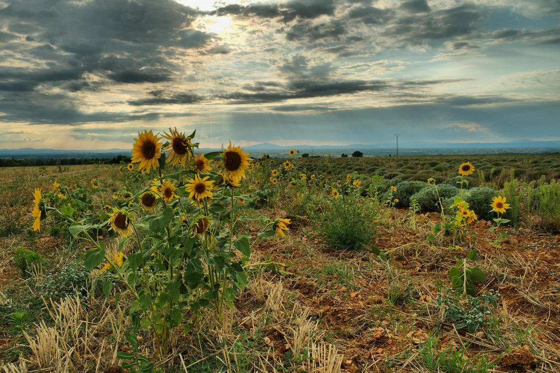 les tournesols by outys