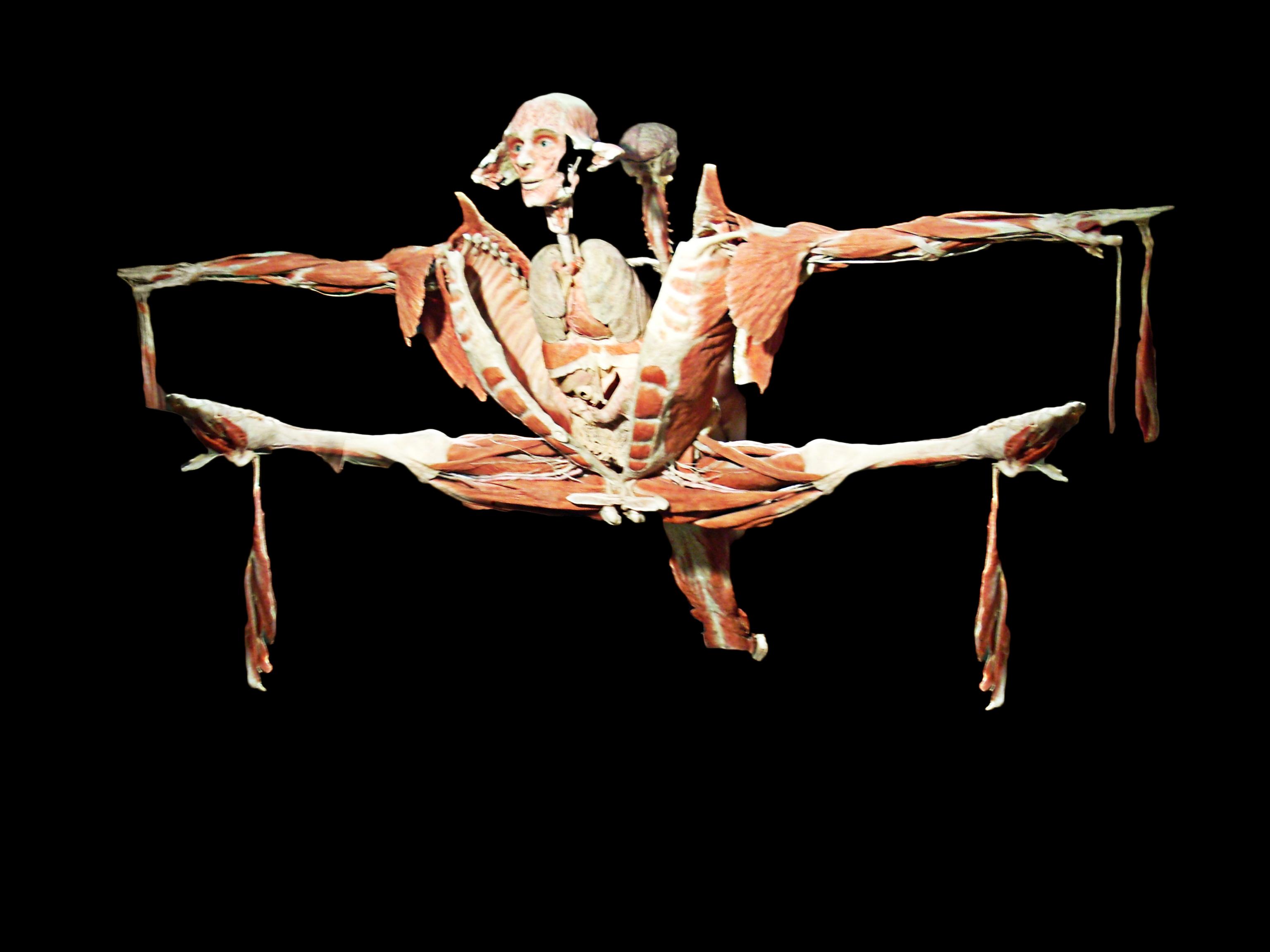 plastinazione Gunther von Hagens anatomia corpo muscoli scheletro