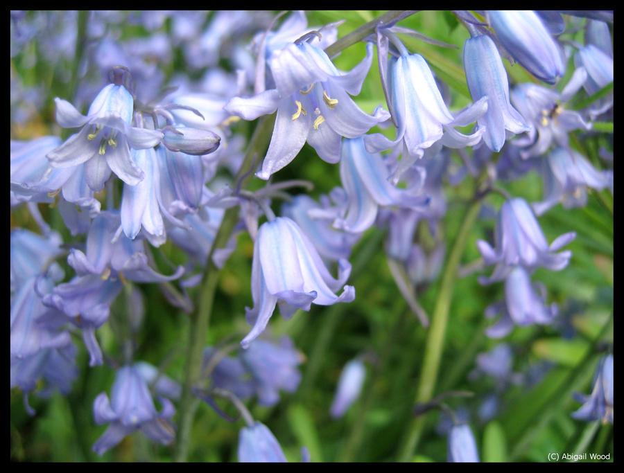 Bluebells by Astrocat