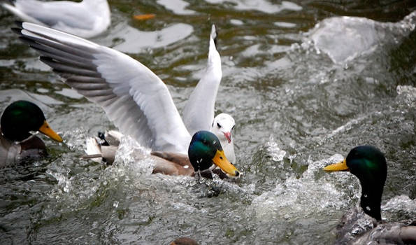 Ducks and Water by jakobdenk