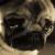 Sad Pug Icon