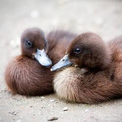 Duckies by WouterPera