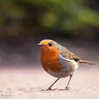 Robin by WouterPera