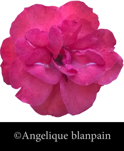 Pink flower png by creamydigital on deviantart pink flower png by creamydigital mightylinksfo Image collections