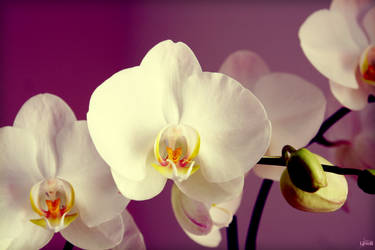Orchid dreams by LiNoR
