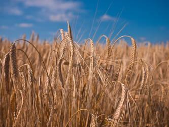 Wheat 1 by Dimethil