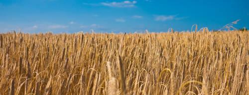 Wheat 2 by Dimethil