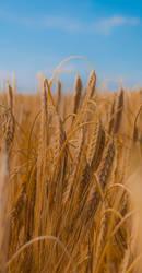 Wheat 3 by Dimethil