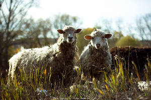 2sheep by clarityconfusion