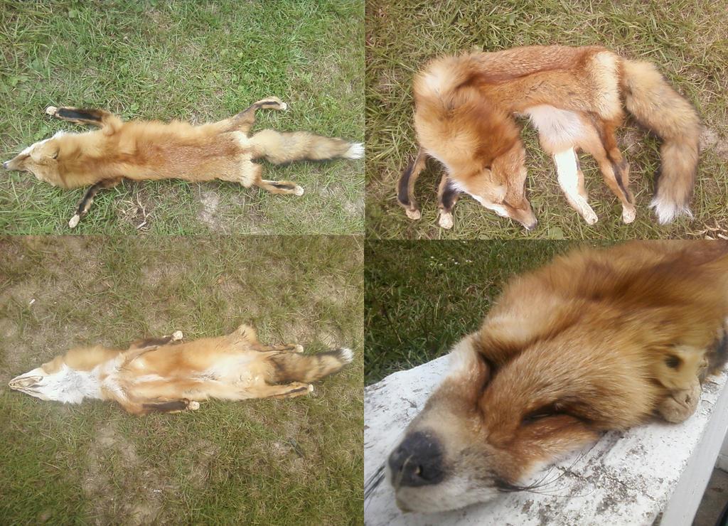 Lifesize Red Fox by FenrisMau