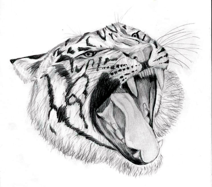 Tiger Head - Pencil by BasicallyASheep on DeviantArt