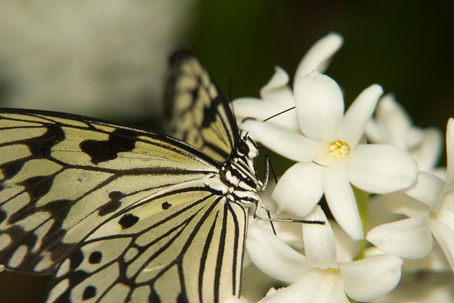 Papillon jardin botanique 2 by julie julie on deviantart for Papillon jardin botanique 2015