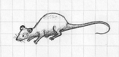 Rat by Linoge13