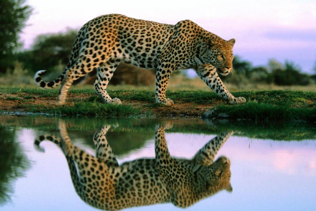 Reflet de leopard by chara35000