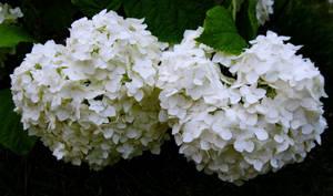 Bursts Of White Blossoms
