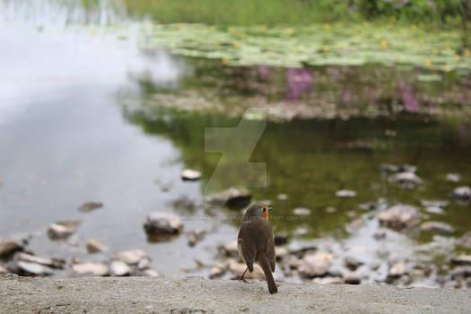 Robin at a lake