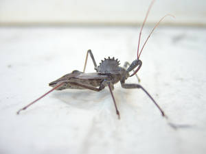Wheel Bug Sideview