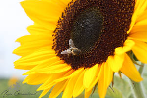 Bee at the sun(flower)