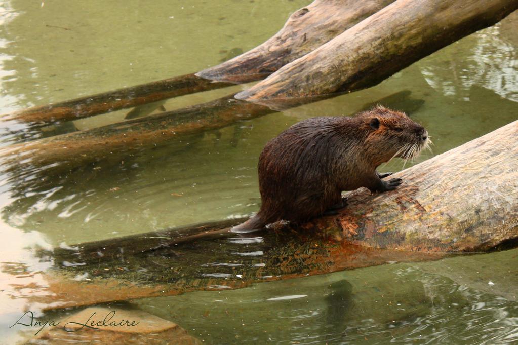 Poing Wildpark - Coypu (Nutria)