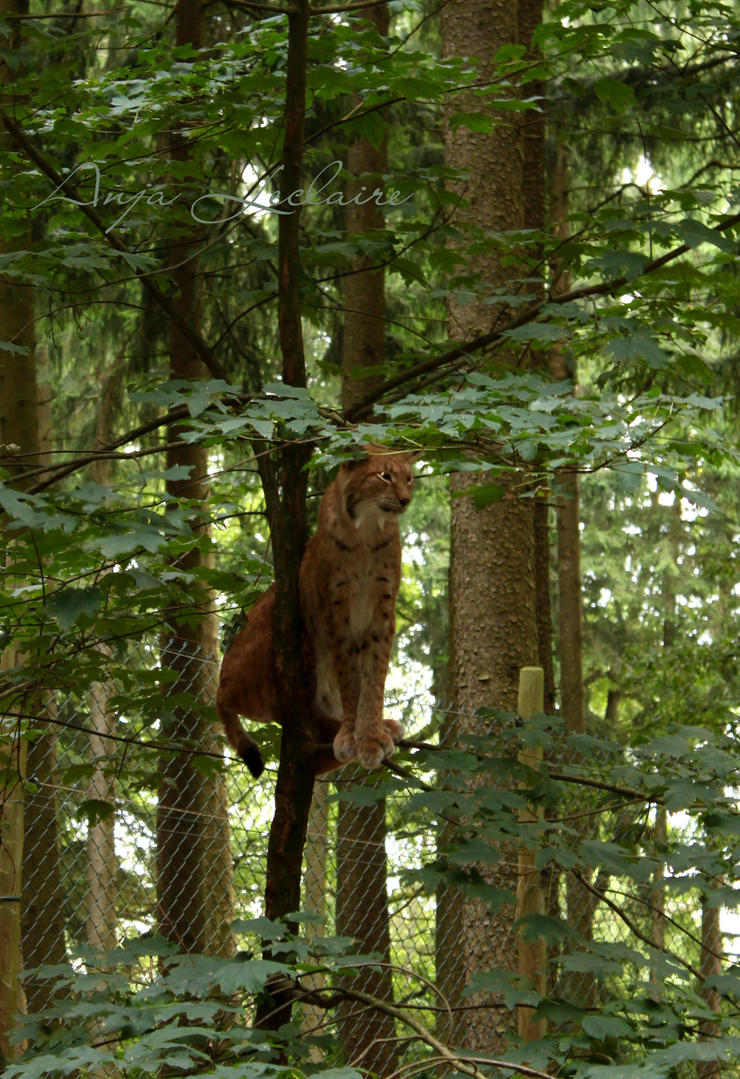 Poing Wildpark - Lynx by SymphonicA19