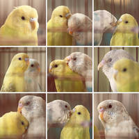 Budgie Couple by HONEST-STYLE