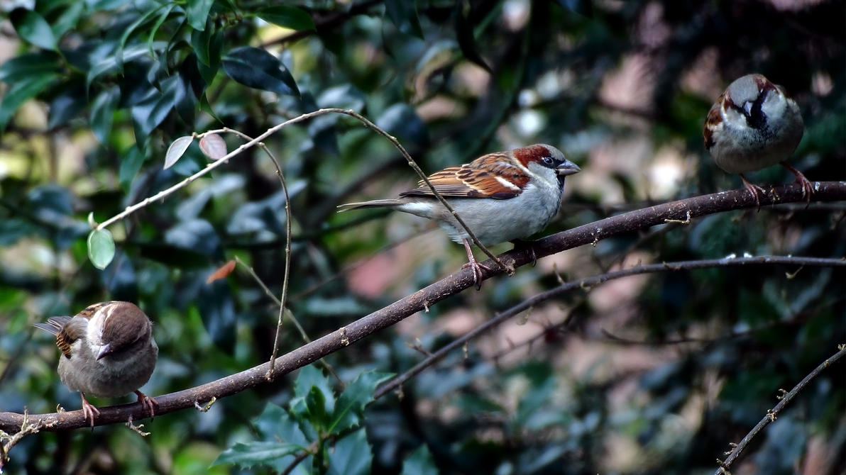 Sparrows on a Branch by OliverBPhotography