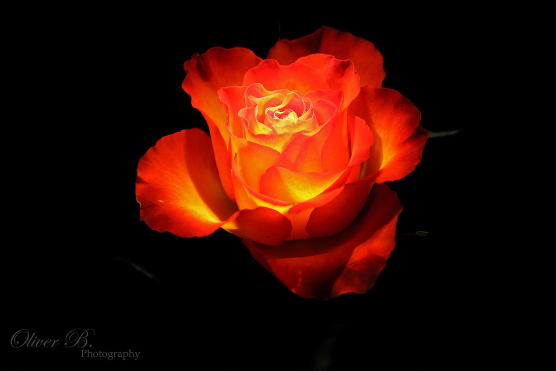 rose of fire by oliverbphotography on deviantart