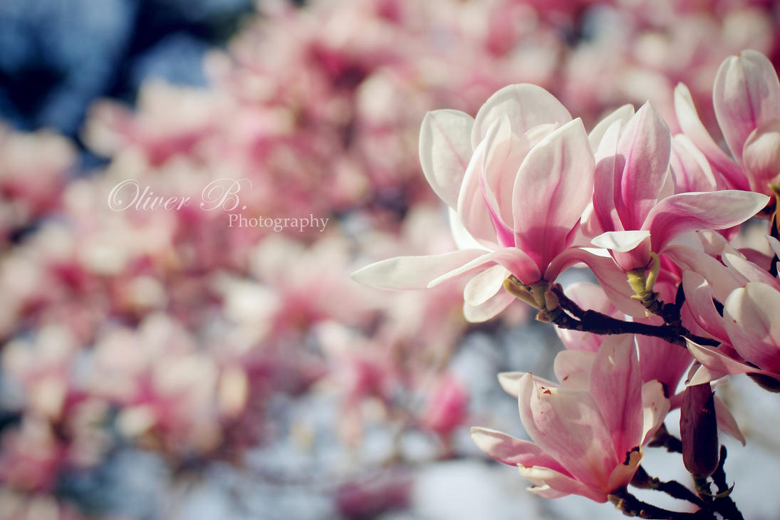 As pink as it gets II by OliverBPhotography