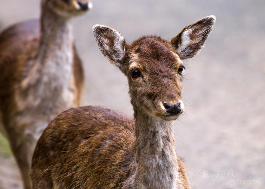 Fallow Deer by OliverBPhotography