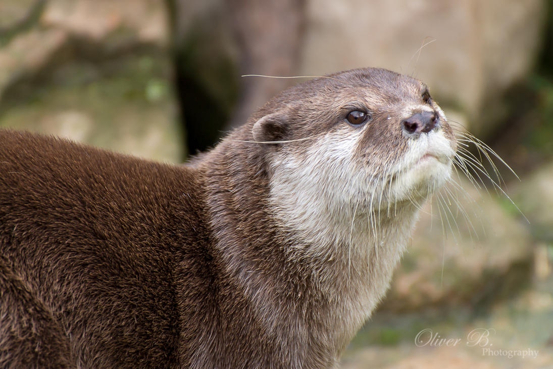 Small-clawed Otter by OliverBPhotography