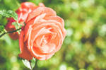 Cliched Rose-Bokeh-Shot