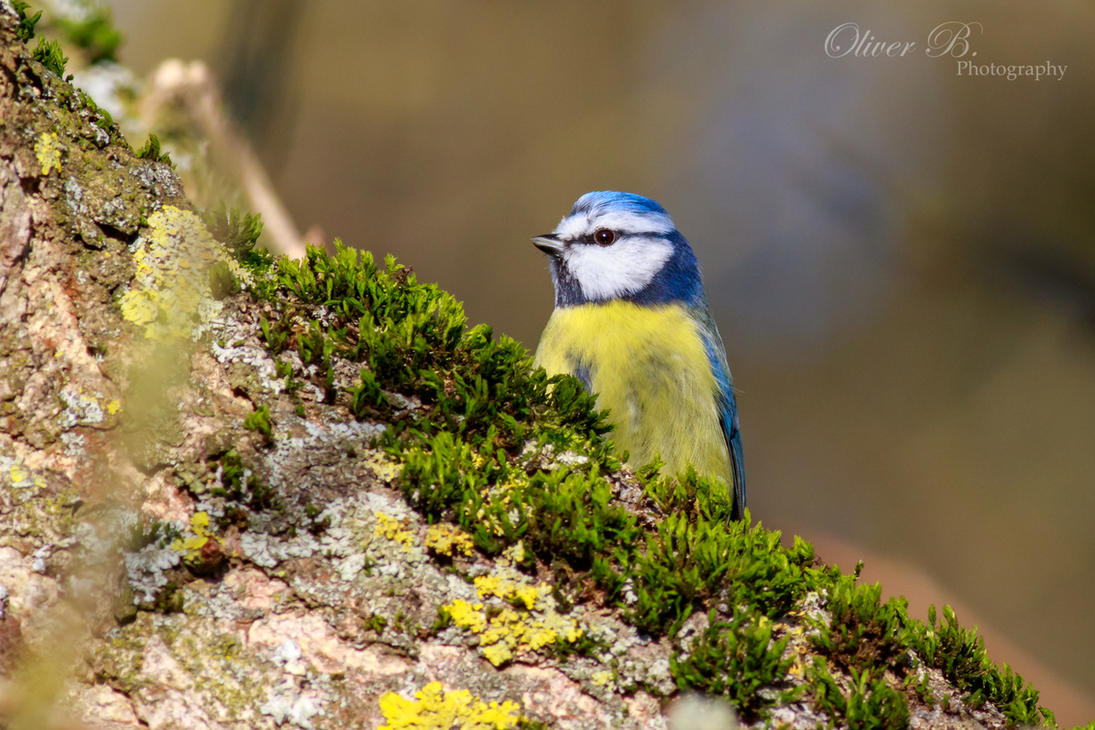 Blue Tit by OliverBPhotography