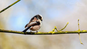 Long-Tailed Tit by OliverBPhotography
