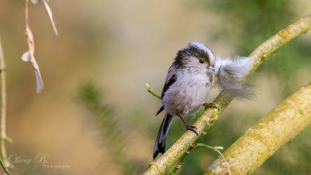 Long-Tailed Tit with Nesting Material (4K WP)