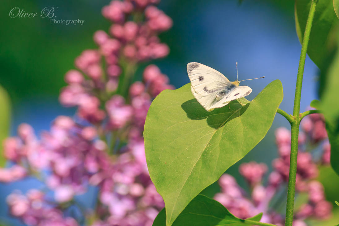 Pieris brassicae by OliverBPhotography
