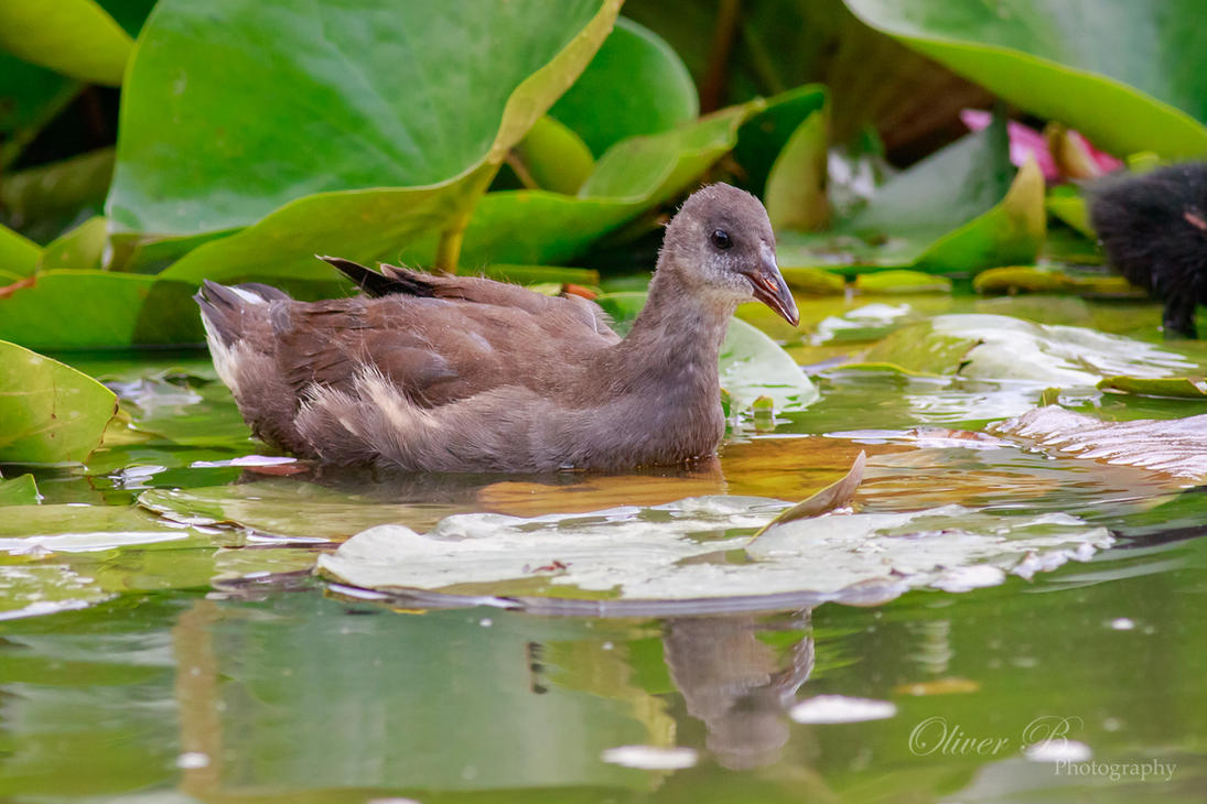 Juvenile Moorhen by OliverBPhotography