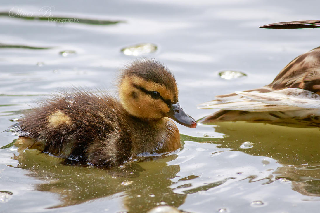 Lil' Ducky by OliverBPhotography