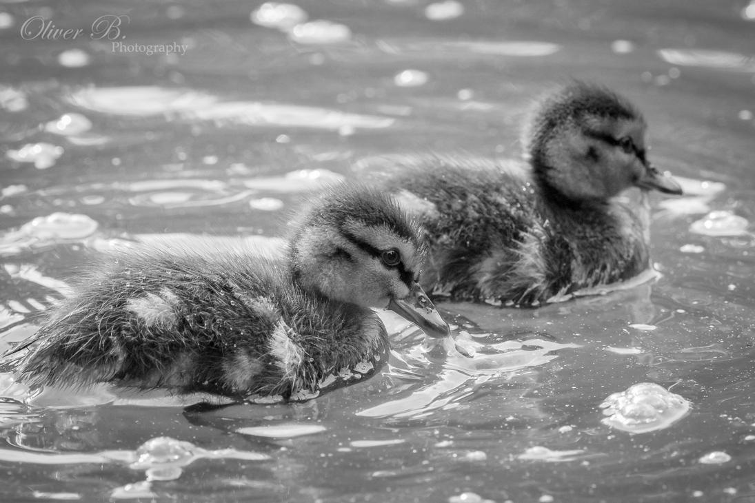 Mallard Siblings by OliverBPhotography