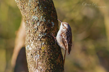 Short Toed Treecreeper by OliverBPhotography