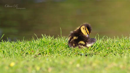 Pretty Little Duckling by OliverBPhotography