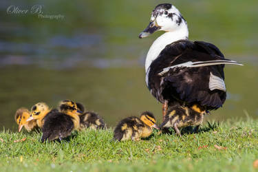 Mallard Family by OliverBPhotography