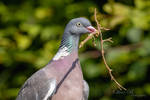 Wood Pigeon (high resolution)