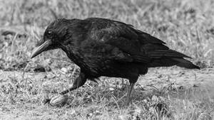 A Crow's Treasure