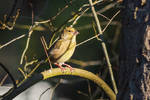 Early Morning Greenfinch