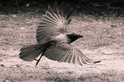 Hooded Crow taking flight