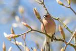 Chaffinch on Magnolia Tree